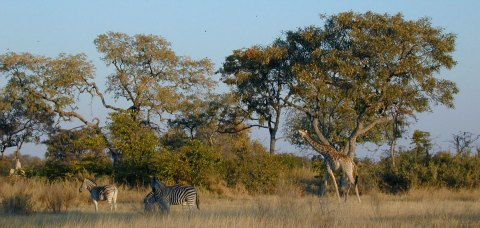 abrupt climate change to savanna
