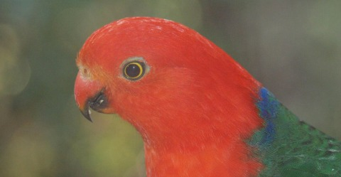 adaptive capacity King parrot
