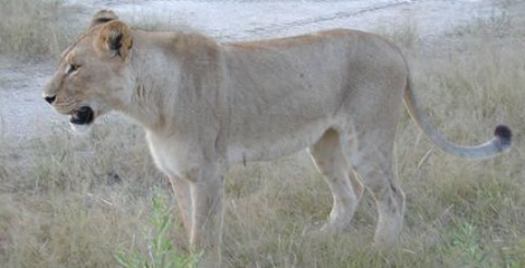 climate change Africa | lioness