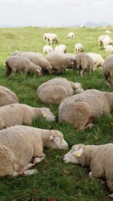 climate change agriculture |  sheep France