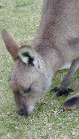 CPRS | Grey kangaroo