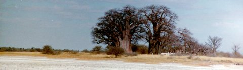 climate change myths baobabs