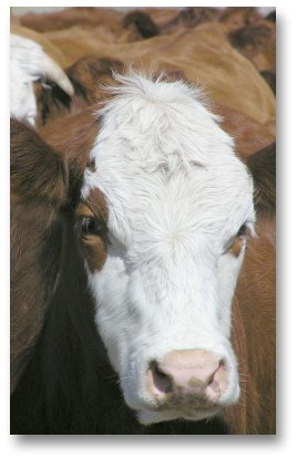 CO2 emissions from cattle
